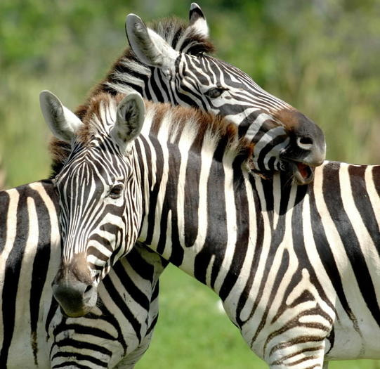 Zebras enjoy some nice weather at Lion Country Safari in western Palm Beach County.