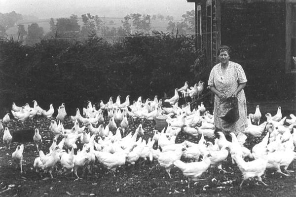 In this mid 1940s photo, the late Edith Hay of Blue Lick Valley Farm near Berlin, is shown feeding her chickens. This is an unusual picture because her young Leghorn chickens are feeding on the farm lawn  an area not often frequented by the chickens. By their appearances, the young Leghorns were being housed in one room of the farms wash house prior to being moved into the hen house some distance away.