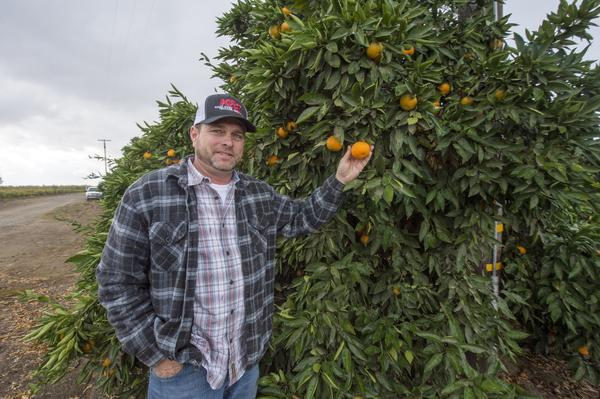 Troy Regier at his family's planting of Owari satsuma mandarins in Orosi.