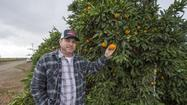 Farmers Markets: Satsumas, a sweet sign of the holidays