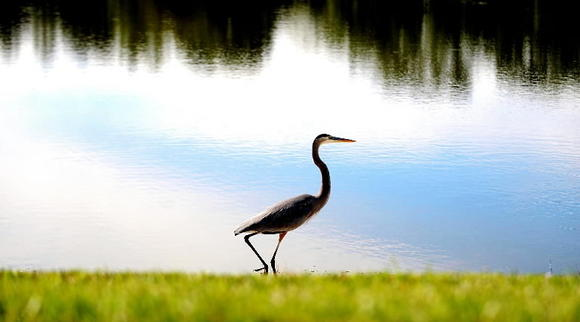 A great blue heron strolls along a lake in Delray Beach.