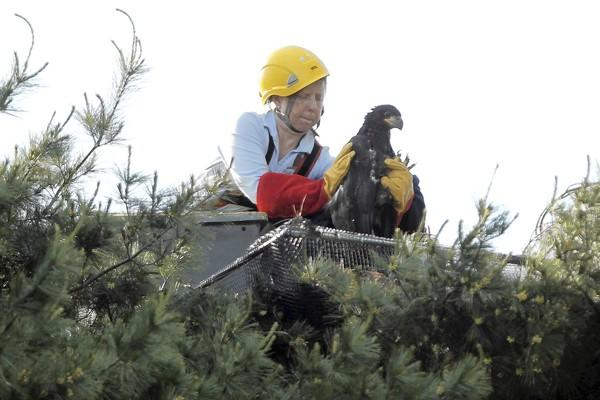 Dawn Keller of Flint Creek Wildlife Rehabilitation places one of two eaglets into a new nest after their nest destroyed during a recent storm at Mooseheart in Batavia.