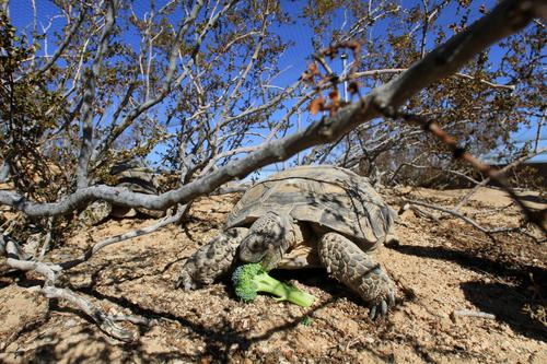 A desert tortoise munches on broccoli at the Desert Tortoise Head-Start Facility in Twentynine Palms, a partnership between the Marine Corps and UCLA designed to protect the endangered species.