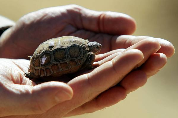 Dr. Marie Cottrell, natural and cultural resources officer at the Twentynine Palms Marine base, holds a baby tortoise. The reptile's major predator is the raven.