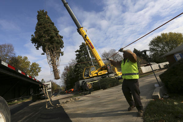 A giant, 63-year-old Colorado spruce is removed Thursday, November 1, 2012 from the home of Barbara Theiszmann in Prospect Heights, to be erected in Daley Plaza in Chicago as this year's Chicago Christmas tree. The tree is 64-feet-tall, and the 99th annual tree-lighting ceremony will be held at the plaza Tuesday, November 20, 2012.