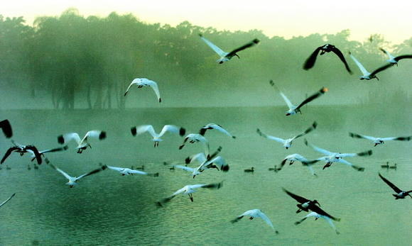 Birds navigate through a cool early morning mist over a Plantation Lake.