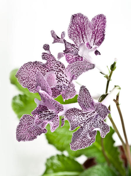Streptocarpus are easy to grow indoors and come in many colorful varieties, making them the perfect floral pick-me-up during winter.