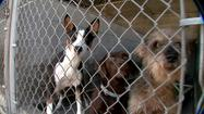 Area shelters are seeing an influx of animal surrenders ahead of the Thanksgiving holiday. The Humane Society for Hamilton County announced Monday that it will a Black Friday sale to help surrendered pets find new homes.