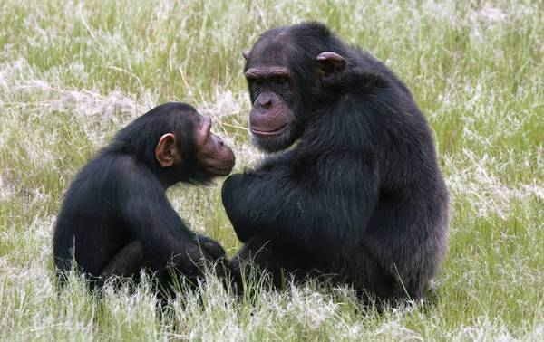 A new study suggests that great apes, such as these chimpanzees, suffer midlife crises much as humans do.