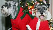 Adorable overload: Pets in Christmas costumes
