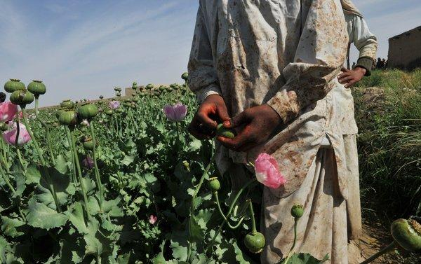 An opium poppy field in Helmand province. This marks the second year that opium cultivation has expanded in Afghanistan, according to the U.N., bringing it close to levels last seen four years ago.