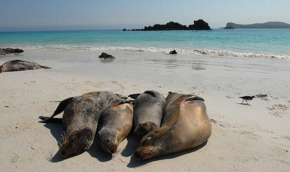 Sea lions bask on the beach of Espanola Island in the Galapagos Islands off the coast of Ecuador.
