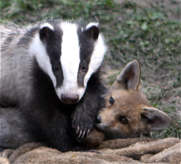 Billy the Badger and Pixie the Fox romp at Harper Asprey Wildlife Rescue in Surrey, Britain.