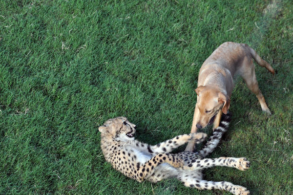 Kasithe the cheetah plays with Mtani the dog at Busch Gardens in Tampa, Fla.