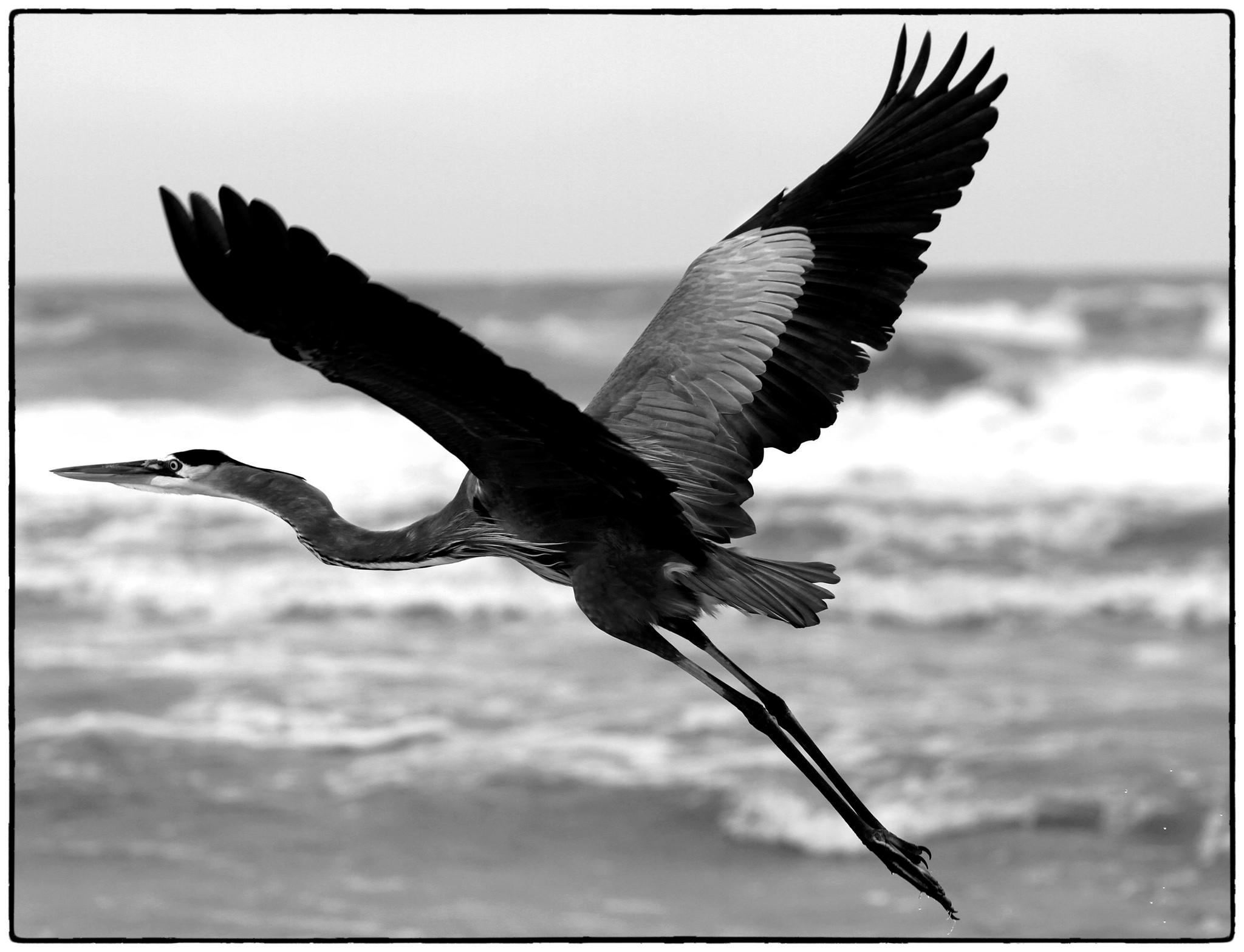 A Great Blue Heron takes flight on a drizzly gray day at the beach in northern Volusia, Wednesday, November 14, 2012. (Joe Burbank/Orlando Sentinel)