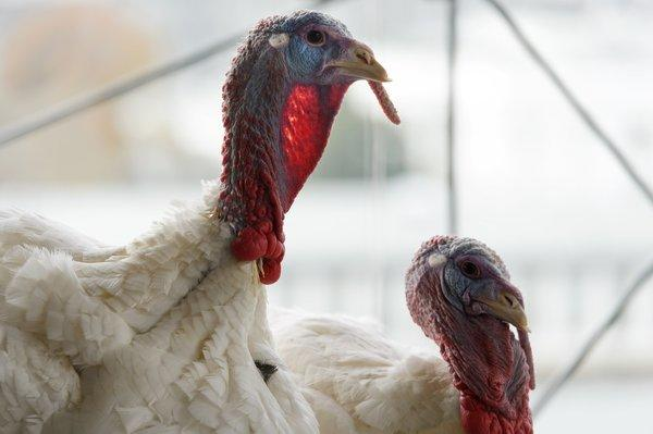 The National Thanksgiving turkey and its alternate are seen during a news conference at the W Hotel in Washington.
