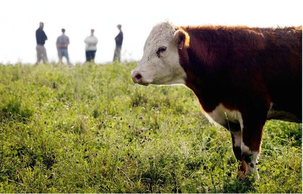 There were only 100 producers of grass-fed beef in the U.S. in the late 1990s. Now there are more than 2,000, says Alan Williams, who produces grass-fed beef. One of them is Grassland Beef Co. in Missouri, above