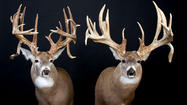 Taxidermists feel lucky when they are the one chosen to mount a record deer.