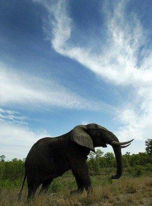 An elephant in Kruger National Park in South Africa. Friendly Planet's Cyber Monday sale includes discounts on a trip to the park and the country.