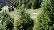 For tree farms, excitement for the holidays is evergreen