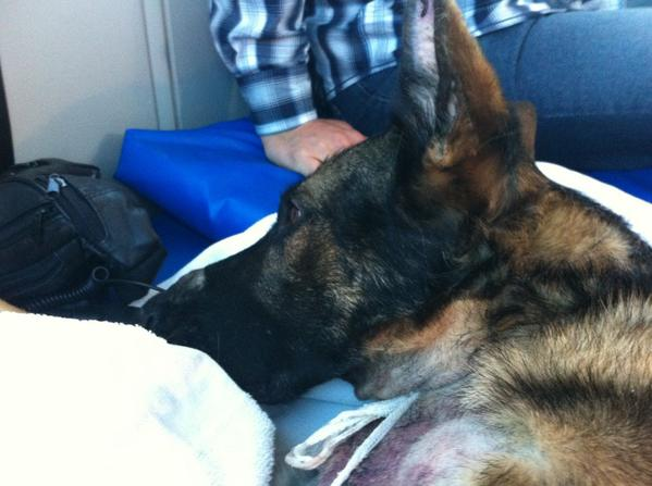 Retired police dog Drake fights for life after being shot several times during a burglary