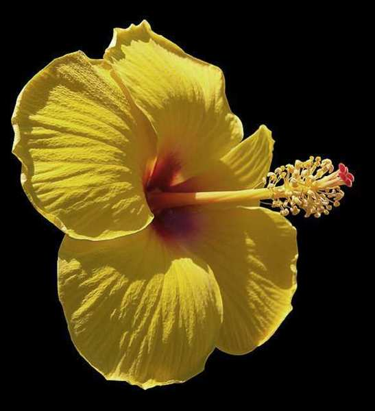 Glendale's official flower, the hibiscus, was celebrated during a 1963 Hibiscus Week, sponsored by the Chevy Chase Estates Garden Club.