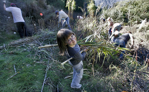 Molly Necus, 5, helps remove invasive non-native Arundo from the northern end of the Rosemont Preserve during volunteer clean up day at the La Crescenta open space at the end of Rosemont Ave. in La Crescenta on Saturday, November 24, 2012.  About 15 volunteers came out to help remove invasive plants.