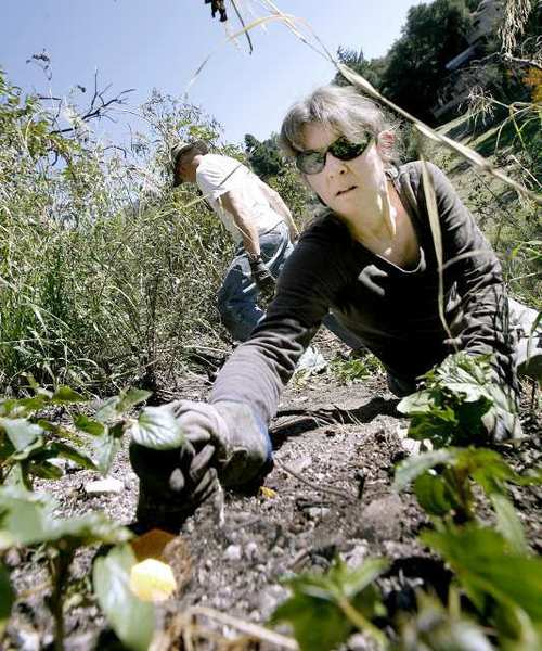 Althea Edwards of La Crescenta helps remove invasive non-native Castor bean plants on a hillside at the Rosemont Preserve during volunteer clean up day at the La Crescenta open space. About 15 volunteers came out to help remove invasive plants.