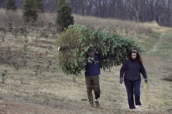 John DiTomasso carries a newly cut tree at Dzen Tree Farm in South Windsor, as his wife Laurie carries the saw. The couple said they were coming to the farm for the first time because they were looking for a bigger tree this year and heard the farm had many to choose from.