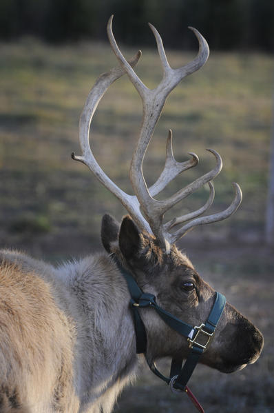 Dzen Tree Farm in South Windsor has two new female reindeer in a pen near a nativity scene for visitors to see. Reindeer are now legal to house year-round, due to a new law in Connecticut. Reindeer are one of the species of deer in which male and females have antlers.