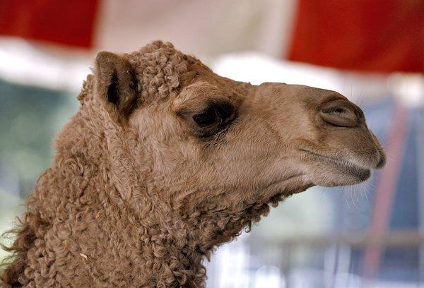A dromedary camel hangs out in its pen as the Ramos Circus tent is erected on the Civic Center Auditorium's parking lot in Glendale on Tuesday, Nov. 20, 2012. The circus will be in town from Friday Nov. 23 through Monday Dec. 3.