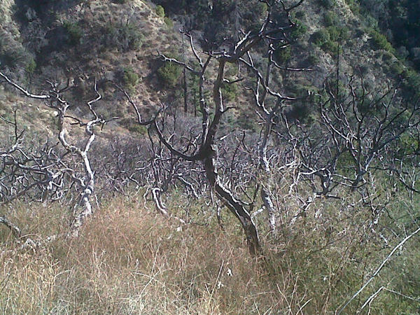 A thicket of trees toasted in the 2009 Station fire, just off the Earl Canyon Mountainway above La Canada Flintridge.