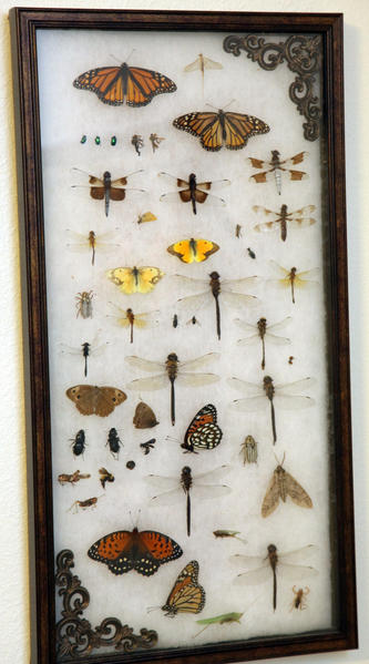 A framed collection of butterflies, moths, dragon flies and insects is part of Aaron Johnson's collection.