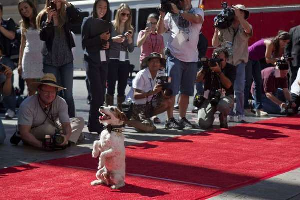 "Uggie, the captivating canine star of ""The Artist,"" arrives at Grauman's Chinese Theatre to become the first dog to press his paw prints into celebrity cement."