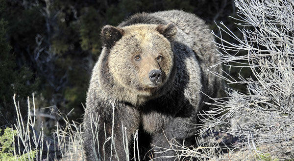 A grizzly bear walks through Yellowstone National Park near Mammoth, Wyo.