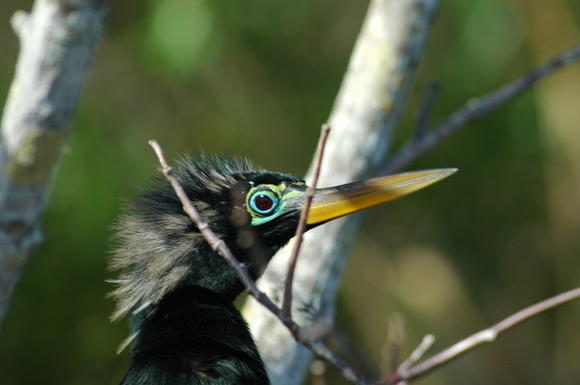 An anhinga, a water bird that enjoys warmer weather, keeps an eye out.