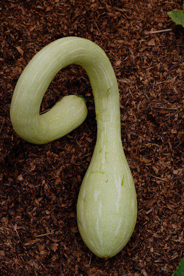 Tromboncino squash: It's easy to grow from seed and yields abundant crops, but beware the aggressive nature of its vines.