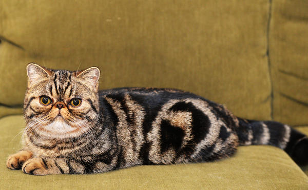 Berryhill Sookie Stackmouse, 8 months old, an exotic shorthair, she is currently International 2nd Best Kitten in The International Cat Association. Mary Lynn Krause of Berryhill Cattery, of Coopersburg shows the cat and is a member of Christmas City Cat Club. /