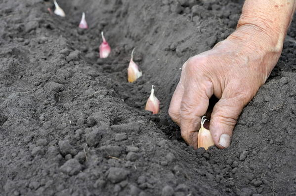 Fall is the best time to plant garlic. Each clove will produce a bulb of garlic by next summer.