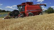 Genome of bread wheat laid bare for scientific gleaning