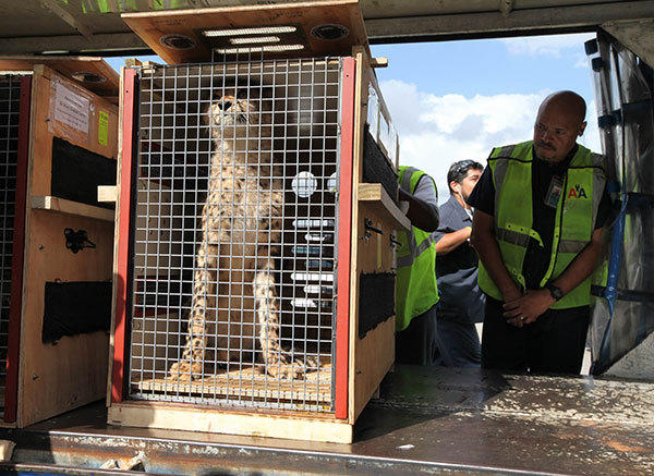 Samuel Rivera, right, an American Airlines employee, tries to get a closer look at one of the animals after it had been off loaded in preparation for transport to Zoo Miami.