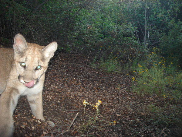 Puma-25, about 1 year old, appear in a photo taken by a remote camera earlier this year in the Santa Monica Mountains.