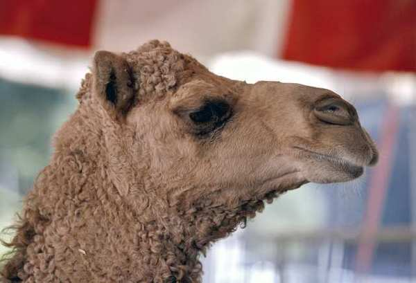 A dromedary camel hangs out in its pen as the Ramos Bros. Circus tent is erected on the Civic Center Auditorium's parking lot in Glendale. The circus is in town through Monday, Dec. 3. PETA is calling on the city to revoke the circus' permit.