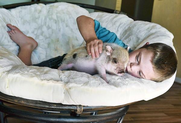 Kason Ray, 8, plays with Twinkie, his new Juliana Pig, Thursday, November 8, 2012. The fight over a pig named Twinkie could get tough. Kason's mother, Heather Ray has requested and has been denied a special exemption to have a pig for her special needs child. So she defied the city and bought Twinkie anyway. Now she's waiting for any fallout.