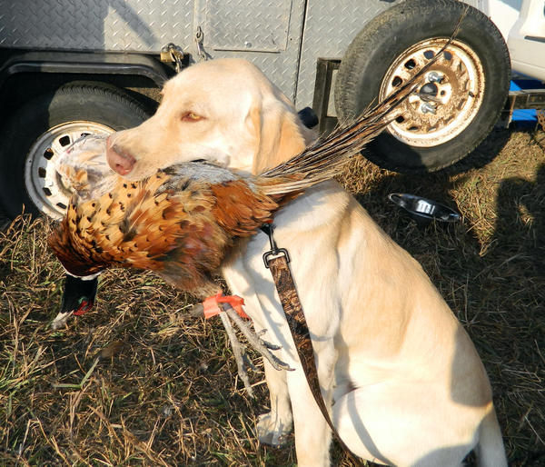 Gus, a yellow Lab owned by Scott Black of Grinnel, Iowa, and member of team Gunners Gone Wild, is proud of his retrieve at the recent Huron Ringneck Festival.