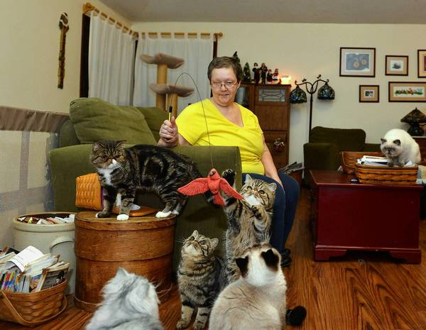 Mary Lynn Krause of Berryhill Cattery, Springfield Township, plays with Berryhill Sookie Stackmouse, (right), 8 months old, an exotic shorthair. In the middle is her sister Berryhille Molasses Cookies and at left is their mother Betzy.