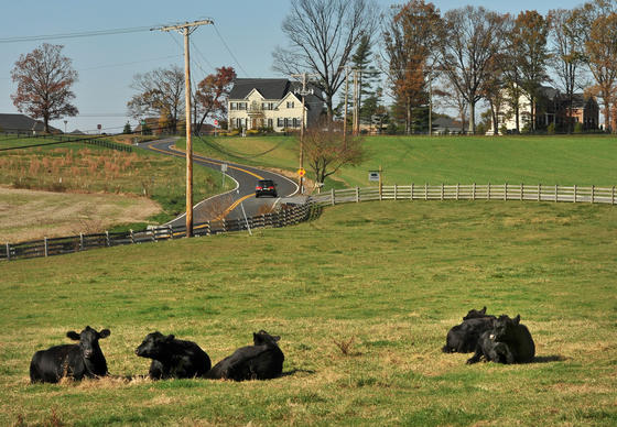 Heifers from the cow calf operation at the Mullinix Farm on Howard Road rest in the foreground. Behind them across Triadelphia Road are large homes.