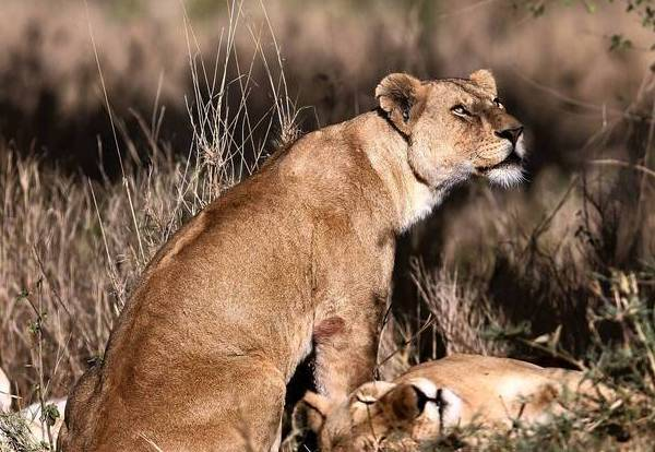 Female lions gather in the sun inside Serengeti National Park in the Northern part of Tanzania.