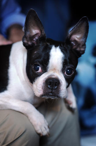 Mirabelle is a Boston Terrier.