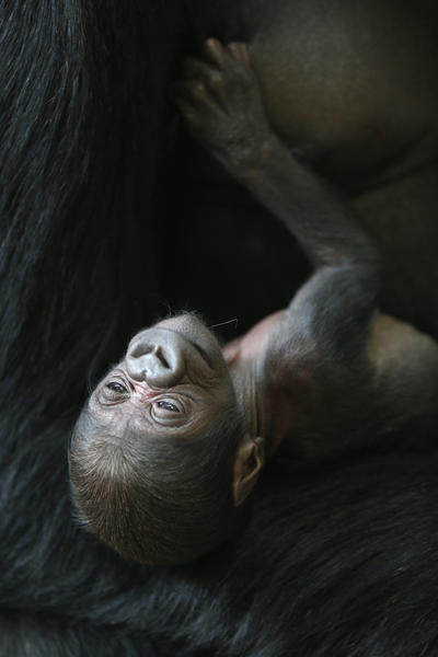 Sixteen-year-old Rollie holds her new baby, a female (name not chosen yet) gorilla born last week at Lincoln Park Zoo. A month ago Bana gave birth to a female named Patty. The babies share the same father Kwan who is 23.